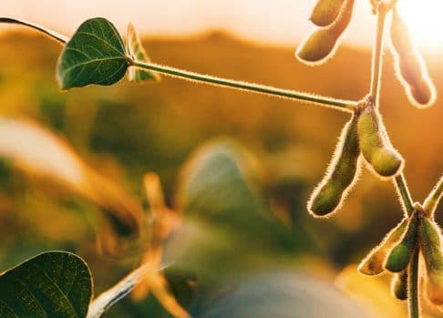 ISU is developing big-data models of soybean SDS with agmatixTM